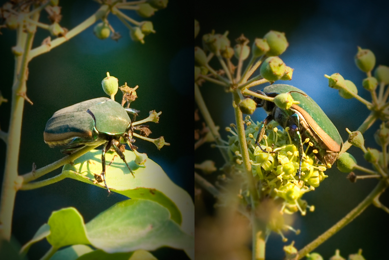 Green June Beetle 1