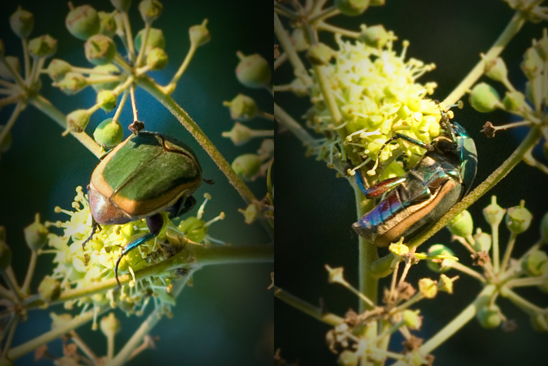 Green June Beetle 2