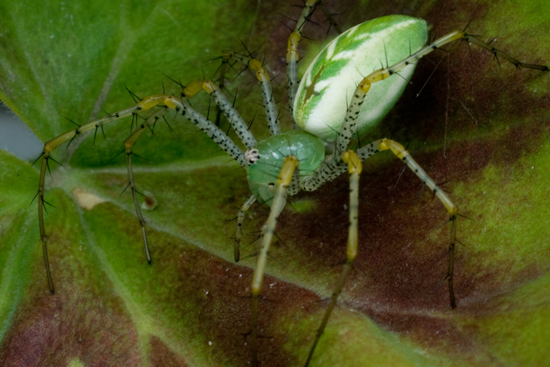 Green Lynx Spider
